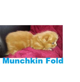 Male Munchkin Fold